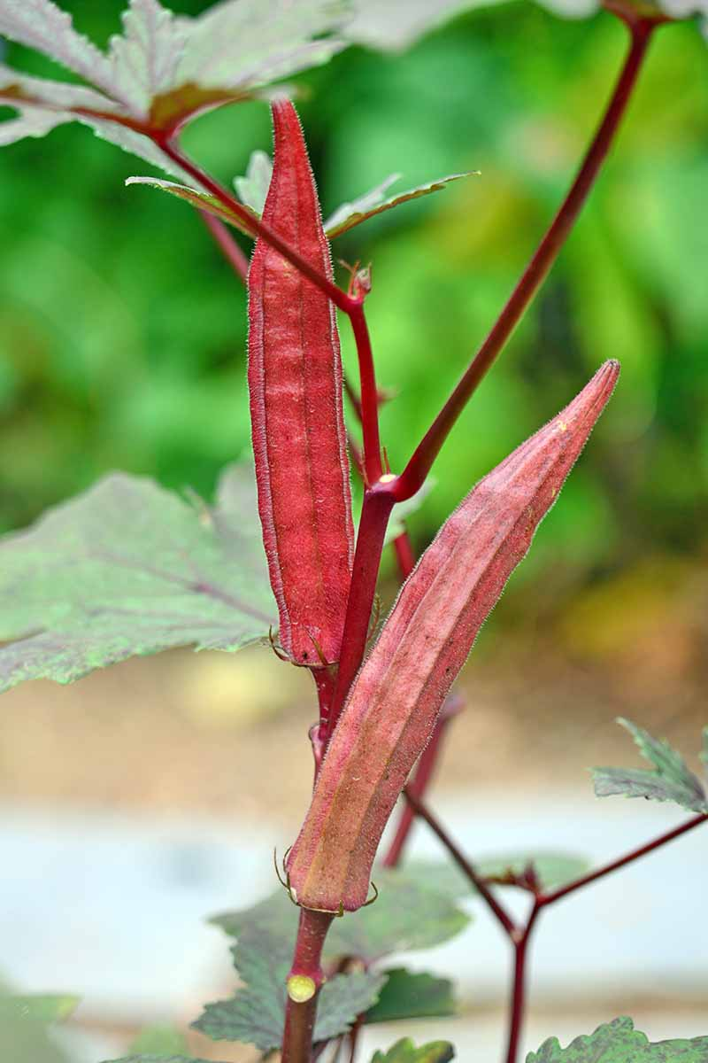 Two red okra fruits grow vertically on a red stem with blurred out leaves in the background.