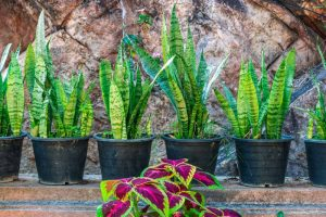 Suddenly Sansevieria: Snake Plant Growing Guide