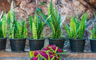 Six small variegated green snake plants in black containers.