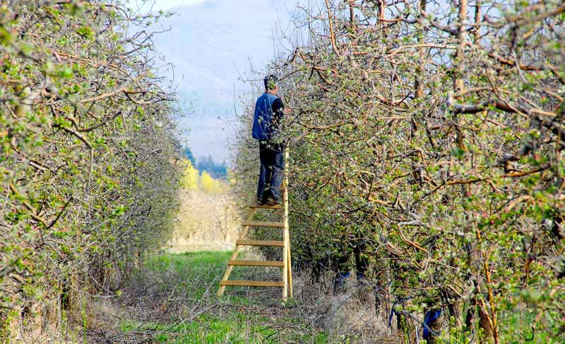 A man on a ladder prunes apples trees in an orchard setting.