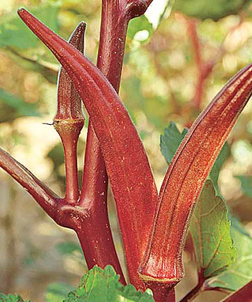 Closeup vertical image of a 'Red Velvet' okra plant in a garden.