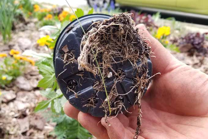 A human hand holds up a marigold in a four-inch pot that has been root-bound by the container.
