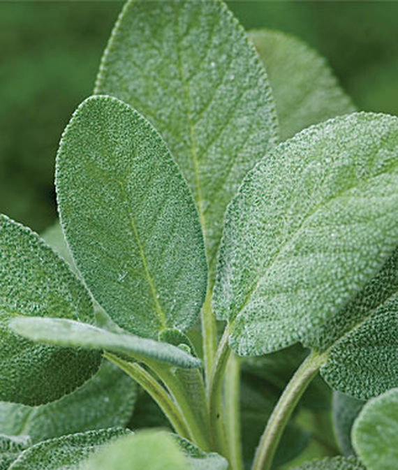 Close up of culinary sage leaves.