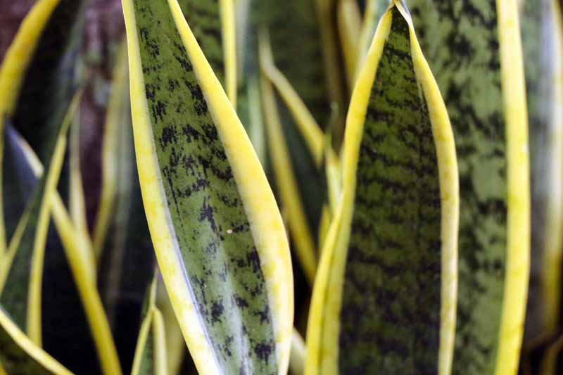 Close up of snake plant Sansevierias laurentii leaves.