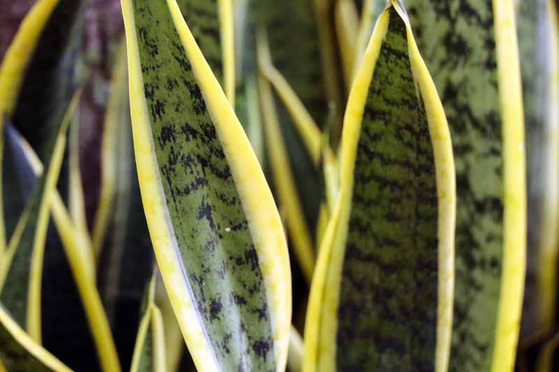 Close up of snake plant Sansevierias laurentii leaves.