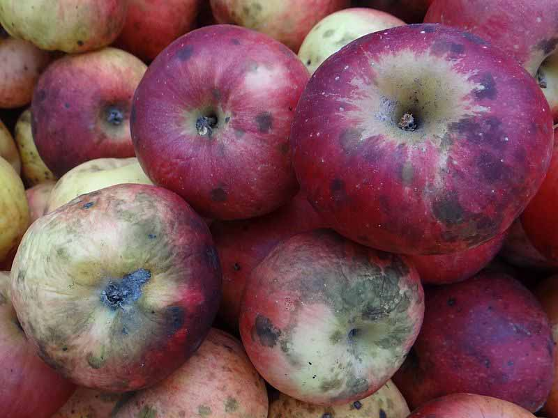 Top-down view of a pile of apples showing signs of sooty blotch.