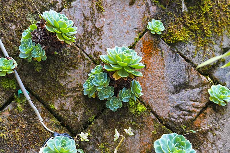 Horizontal closeup image of succulents growing in the cracks between moss-covered bricks.
