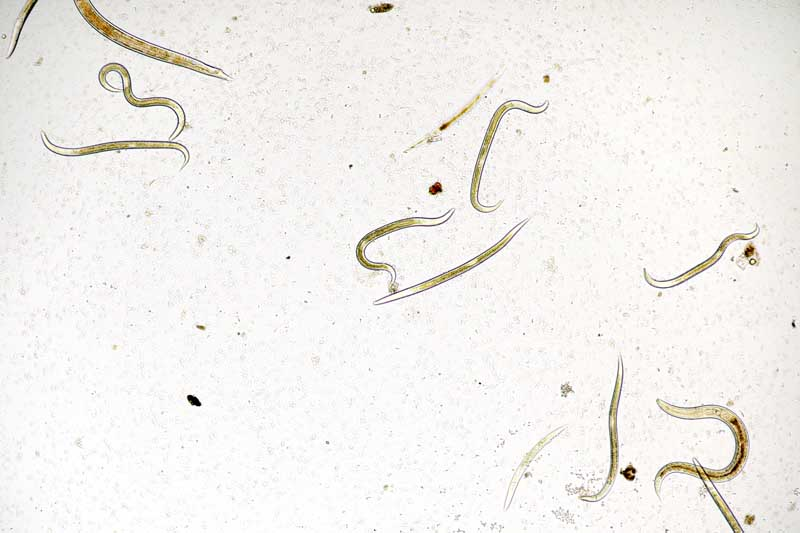 Top down view of an image of a cluster of microscopic ground dwelling nematodes.