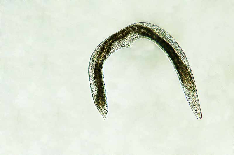 Micro photo of a beneficial ground dwelling nematode.