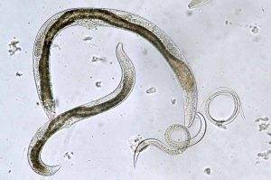 Top down view of various beneficial nematodes view through a microscope.