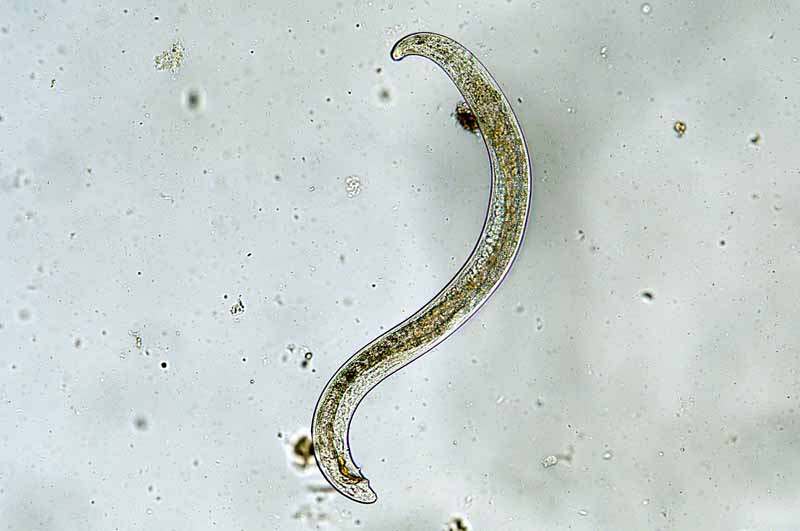 Micro shot of a ground-based beneficial nematode.