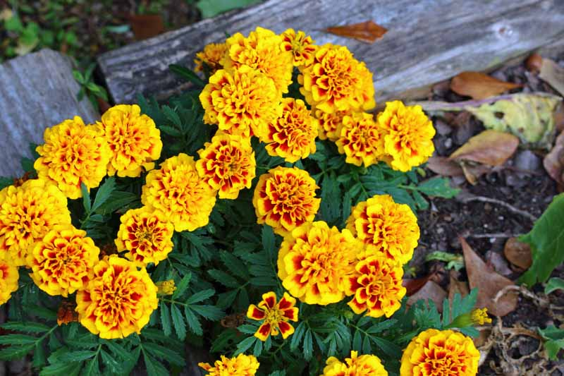 Closeup of yellow marigolds growing in the garden being used to ward off insect pests pictured on a soft focus background.