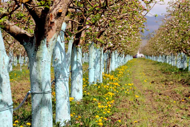 Rows of an apple tree orchard with trunks painted with a Bordeaux mixture.