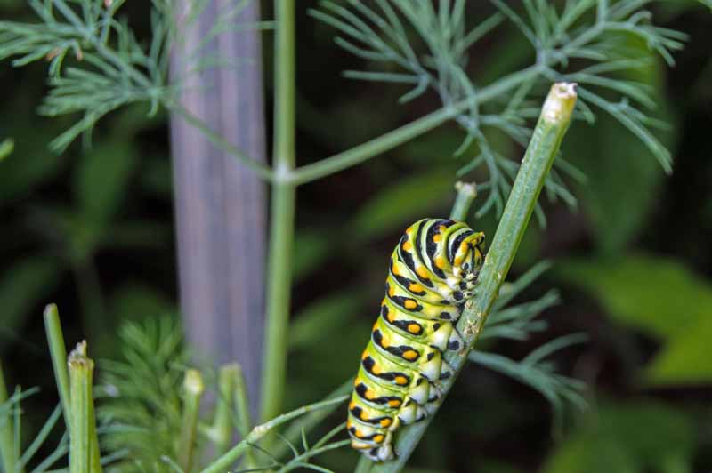 Closeup of a black swallowtail caterpillar feeding on a dill plant.