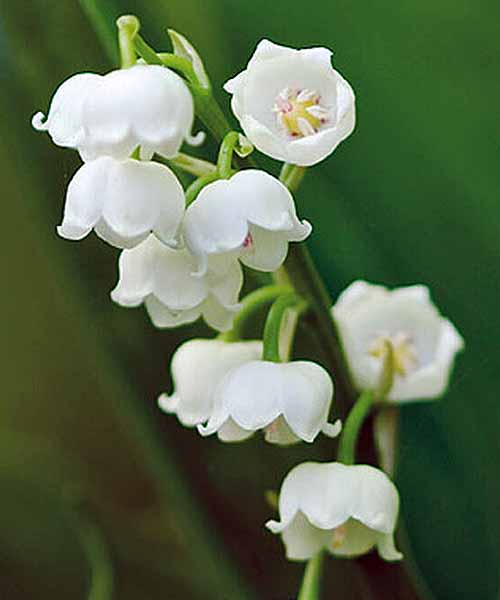 Close-up image of the large, white, bell-shaped blooms of 'Bordeaux' lily of the valley.