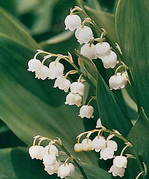 Close-up image of lily of the valley with white, delicate, bell-shaped blossoms and broad green foliage.