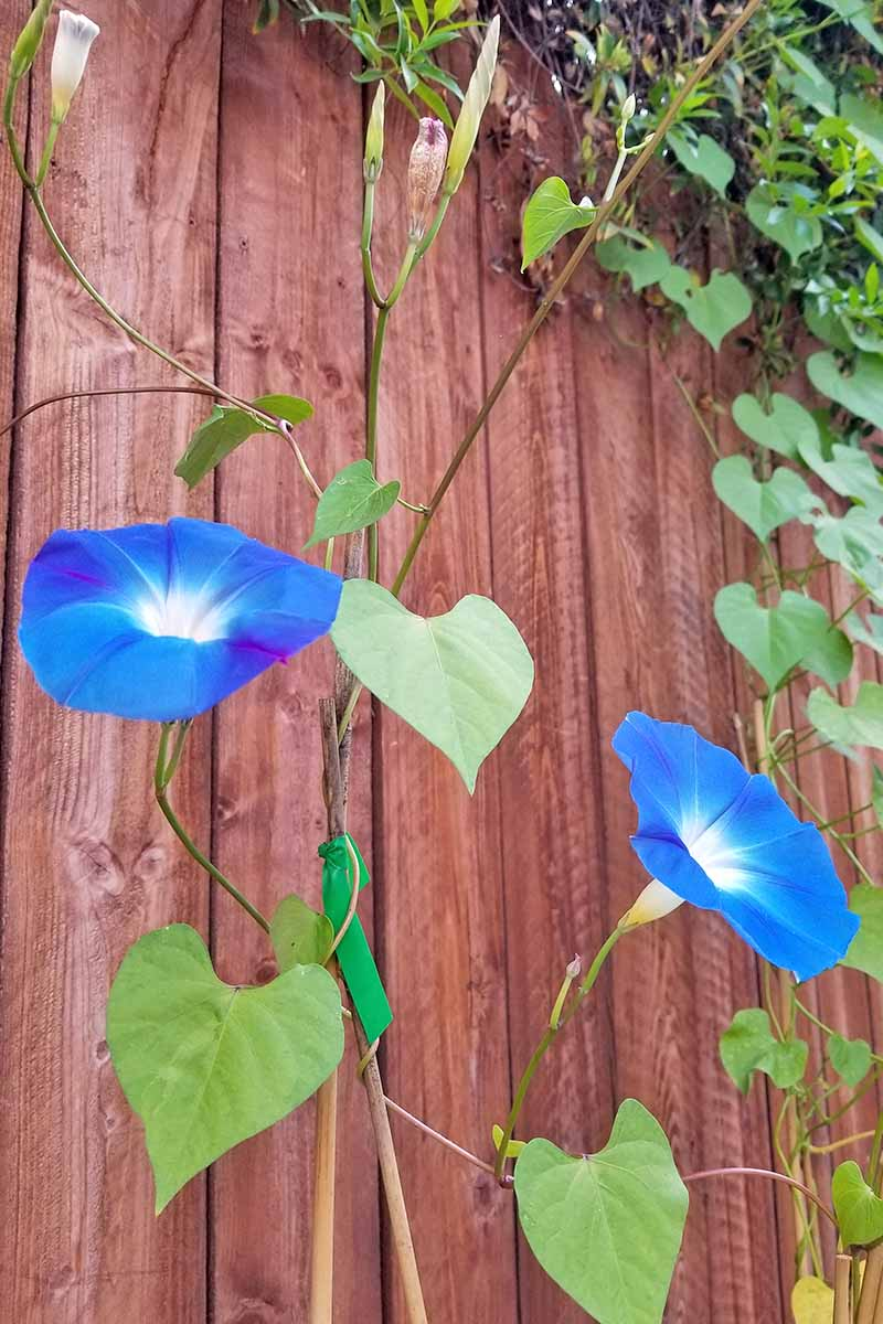 Two blue morning glory flowers grow on a vine and are supported by a bamboo trellis. Other vines are in the background and grow upon a wooden fence.