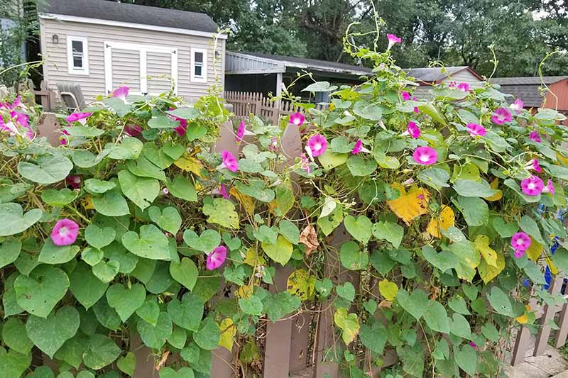 A wooden slat fence supporting a large amount of morning glory vines, leaves, and flowers with a beige shed with white trim in the background.