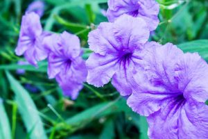 Grow Mexican Petunias (Ruellia Simplex) for a Heat and Shade Tolerant Perennial