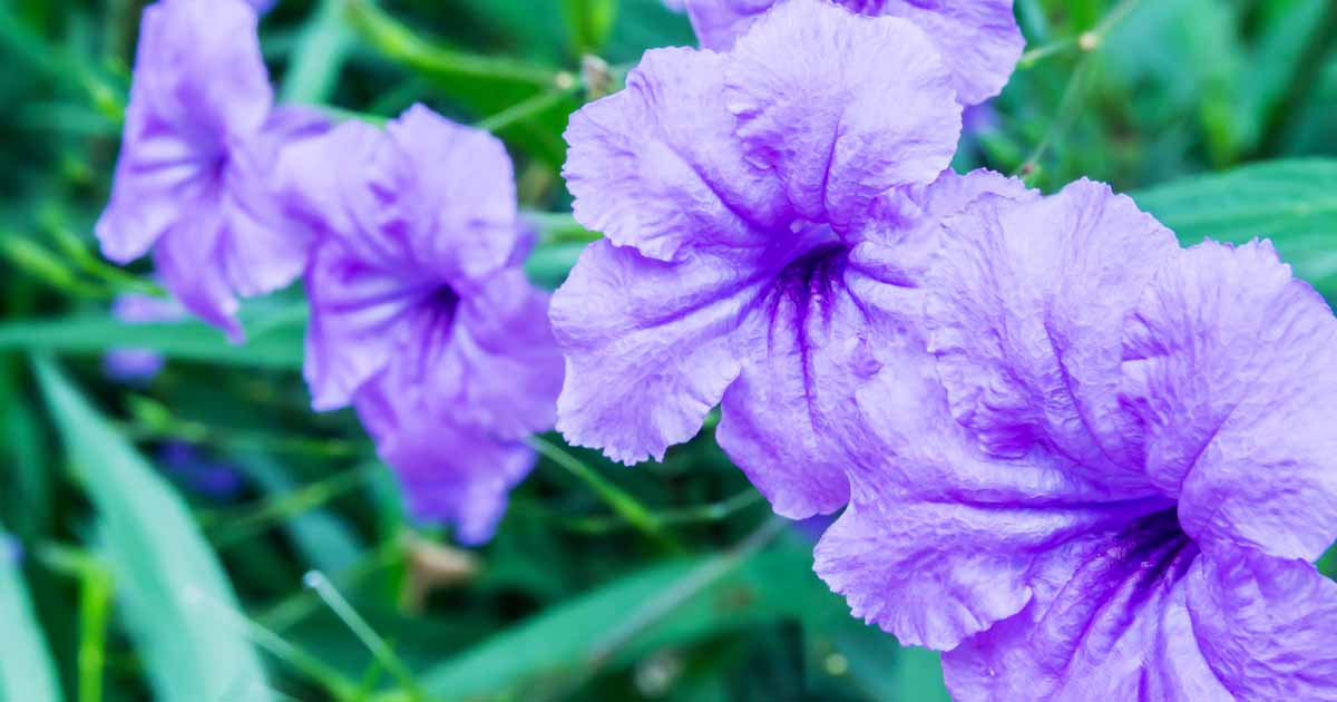 How To Grow And Care For Mexican Petunias Ruellia Simplex