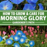 A collage of pictures showing different views of morning glory vines with blue flowers.