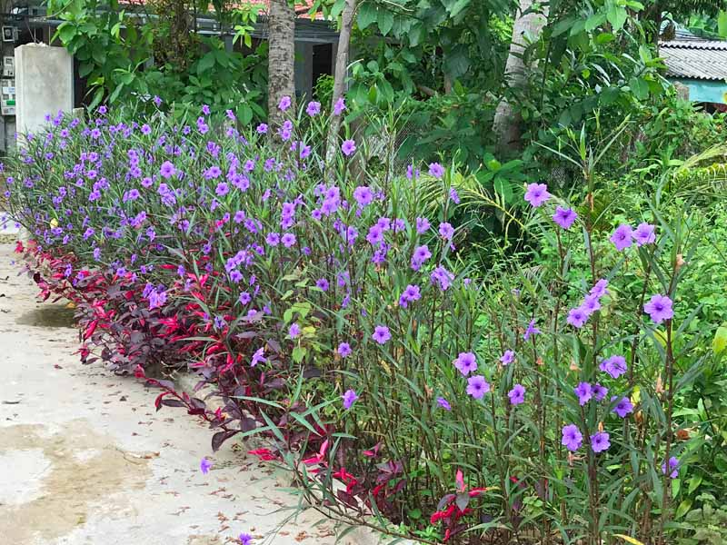 A horizontal image of the tall variety of Mexican pansies used as an edging bed for a stone pathway.