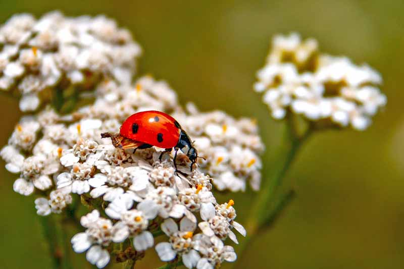 Closeup of a red ladybug on a cluster of yarrow blooms.