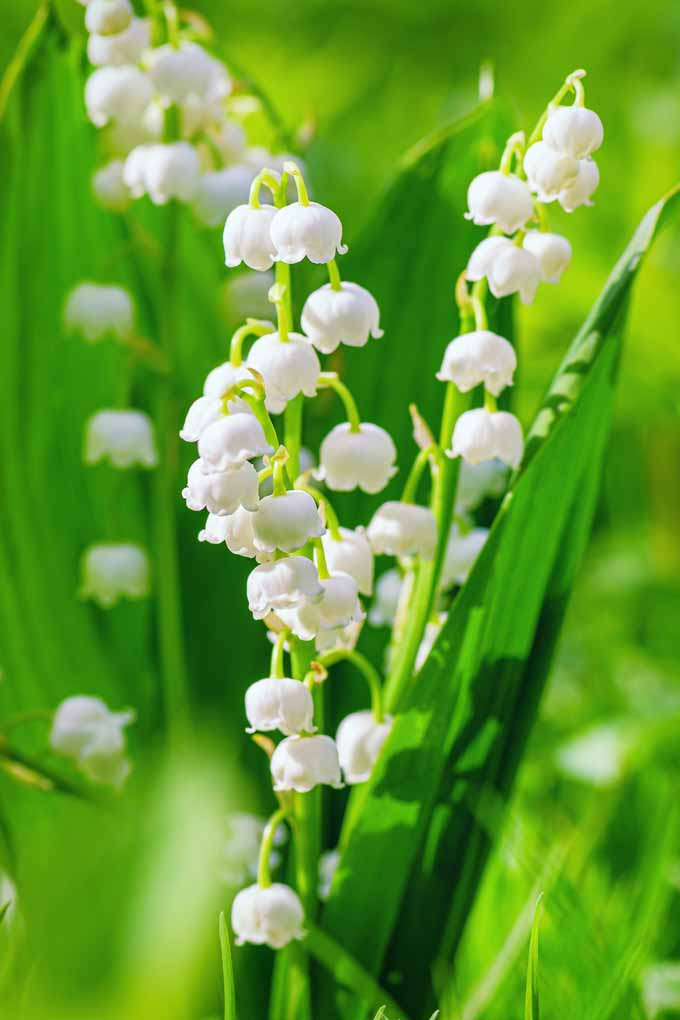 Close up of lily of the valley in bloom showing off white, bell shaped flowers.