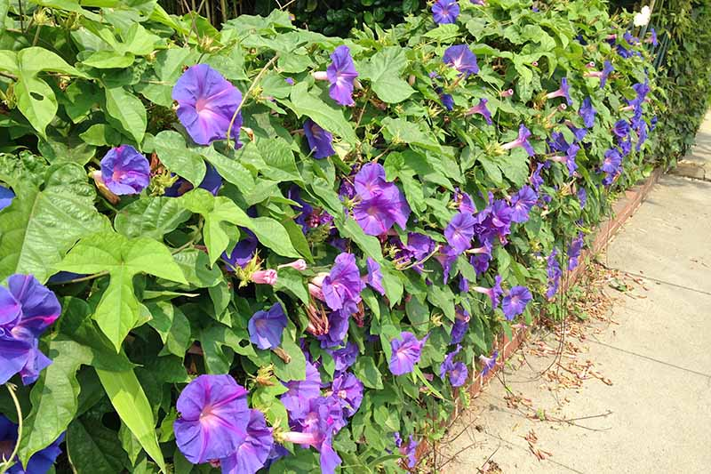A brick wall supports profuse morning glory flowers and vines serving as a green cover over the wall. A sidewalk is below and has plant debris scattered on the walkway.