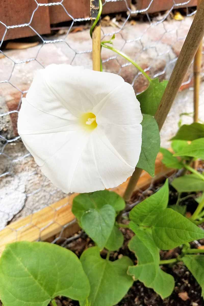 A young, white morning glory flower is growing around a bamboo support and a metal chicken wire fence. Soil and the border of a raised bed are below resting on a stone walkway with a fence in the background.