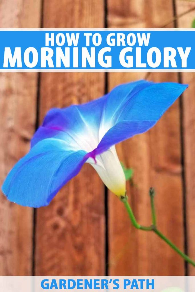 "A blue morning glory flower with a wooden fence in the background. A title ""How to grow morning glory"" and a website name ""Gardener's Path"" are added in white and blue text respectively."