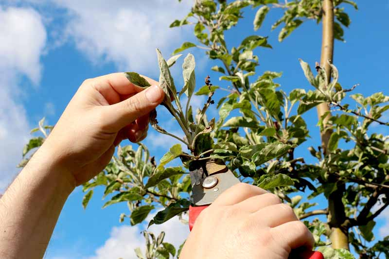 A pair of human hands uses a pruning tool to remove branches of an apple tree infected with Podosphaera leucotricha.