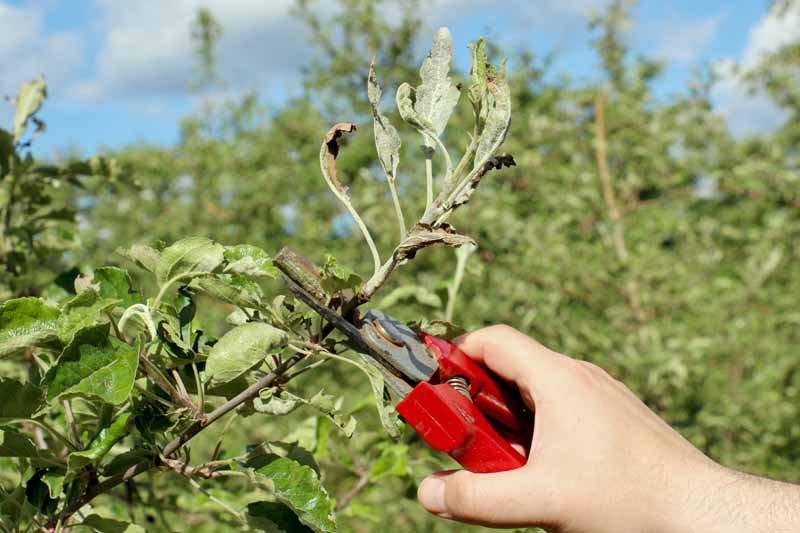 A human hand removes a diseased branch from an apple tree that has been affected by powdery mildew