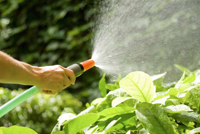 A human hand sprays vegetable plants with a water hose.