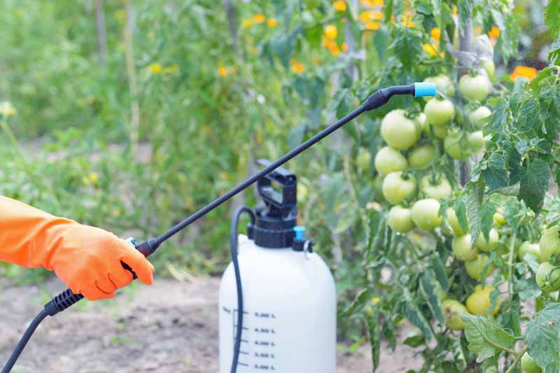 A human hand holds a spray wand attached to a pump tank to apply pesticide to tomato plants.