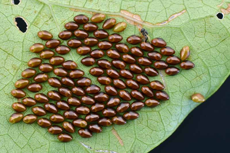 A large cluster of many brown, shiny squash bug eggs on the underside of a pale green leaf with holes and other signs of damage, against a black background.
