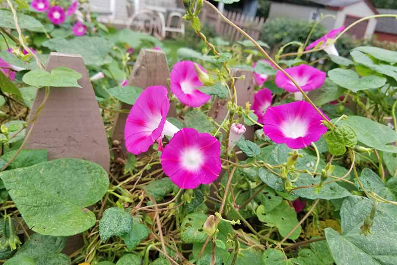 Pink and white morning glories grow with crowded vines on the top of a fence. Neighboring sheds, outdoor furniture, and a green lawn are in the background.