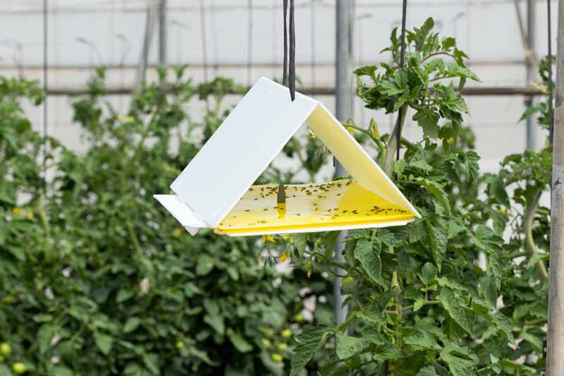 A yellow triangular trap hung from a tree is using pheromones and sticky paper to trap flying insects.