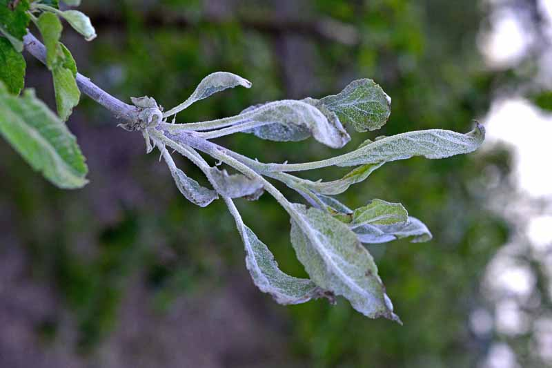 An apple tree branch complete coated in a Podosphaera leucotricha fungal infection showing the characteristic white powder-like coating on the leaves.