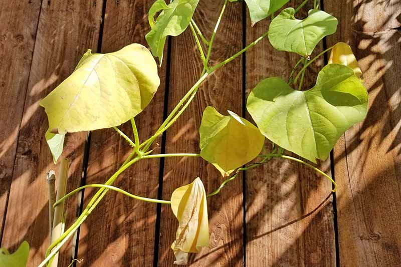 Yellow leaves of an unhealthy or stressed morning glory growing on a bamboo trellis. A wooden slat fence is behind and covered in shadows.