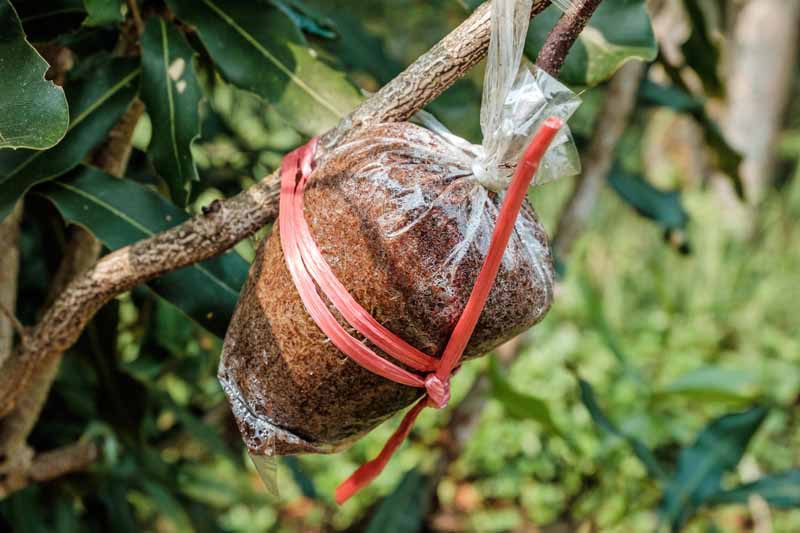 A macadamia tree being cloned by air layering with a bag of growing medium attached to a branch.