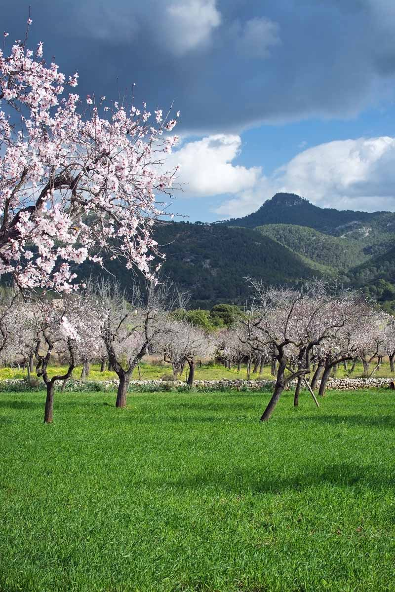 Almond trees in bloom in an orchard in Portugal.