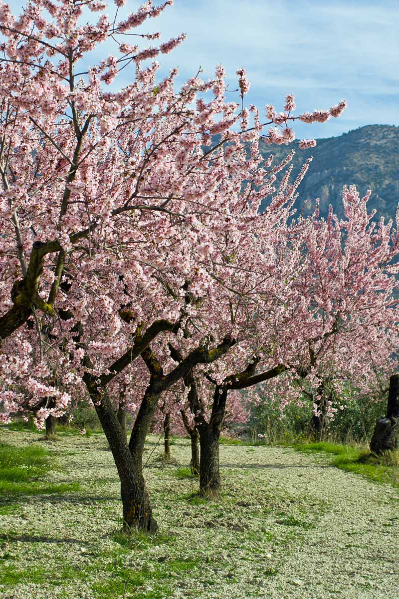 A row of almond nut trees in bloom in Spain.