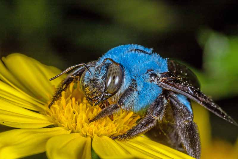 A blue colored carpenter bee gathering pollen on a yellow daisy bloom.