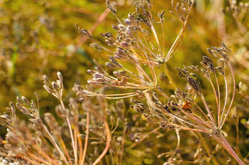 Close up of a caraway flower head with mature seeds ready for harvest.