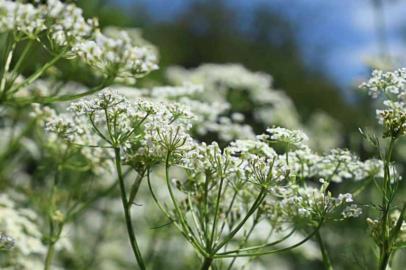 A side profile view of a cluster of small, white caraway flowers.