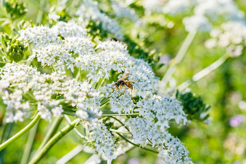 A yellow jacket lands on the white flowers of the caraway plant.