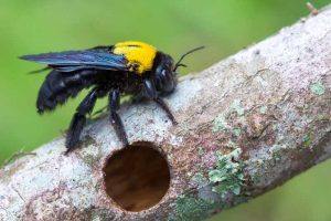 How to Stop Carpenter Bees from Attacking Your Home