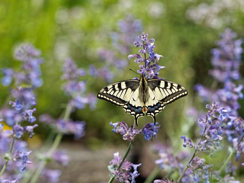 A yellow and black butterfly feeds on the lavender flowers of Nepeta x. faassenii.