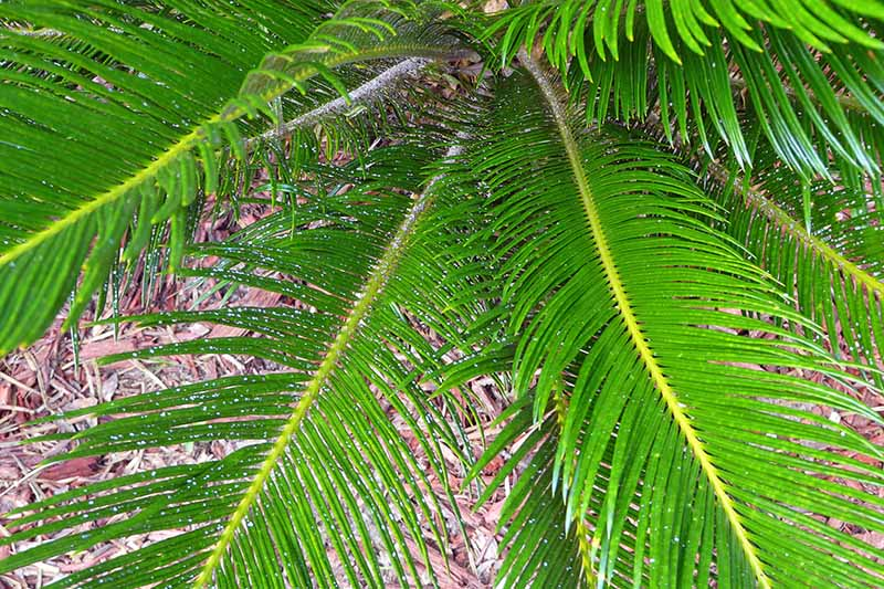 Closeup closely cropped horizontal image of green king sago fronds with small white flecks, evidence of a scale infestation.